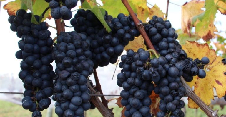 Tecnologia da Epamig possibilita produzir vinhos finos no Cerrado brasileiro