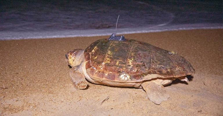 Tartarugas marinhas serão monitoradas via satélite no litoral capixaba