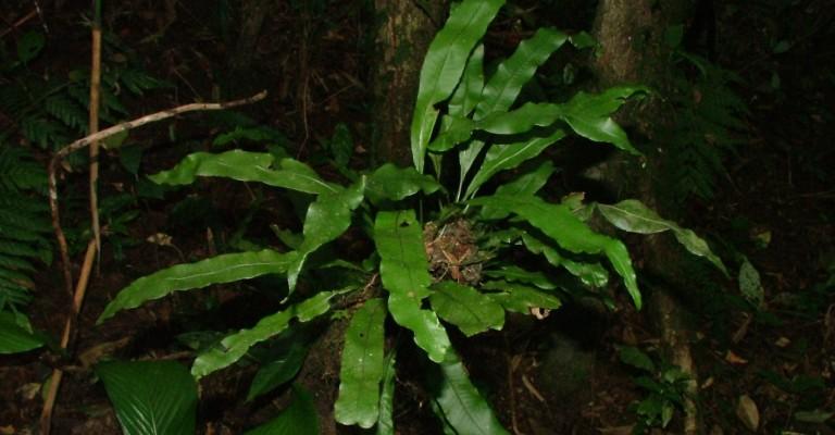 Brasileiro descobre novas espécies de samambaias na América do Sul e no Caribe