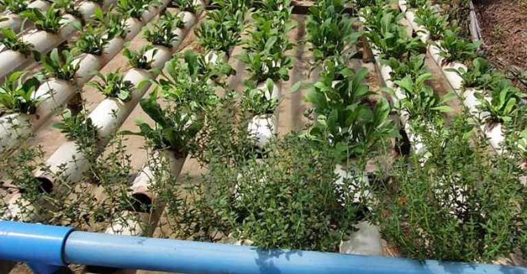 Cultivos hidropônicos podem triplicar produtividade