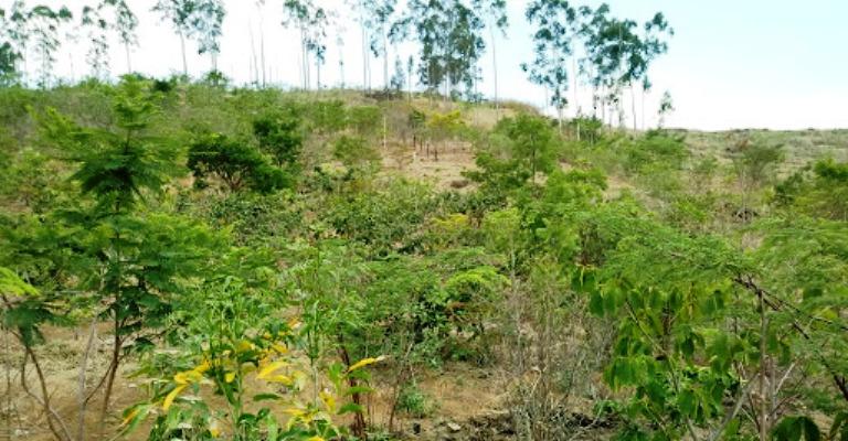 Caixa ajudará a plantar 600 mil árvores em Minas Gerais e do Tocantins